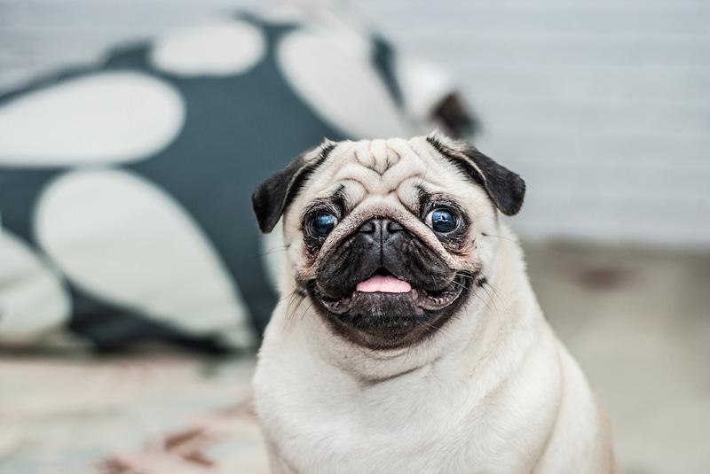 Mopslík pes do bytu