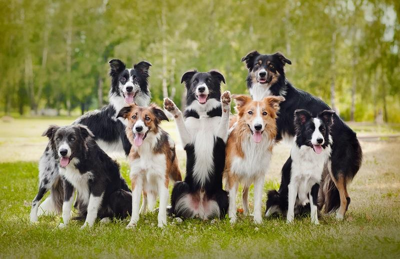 Aktívne psy a kólia