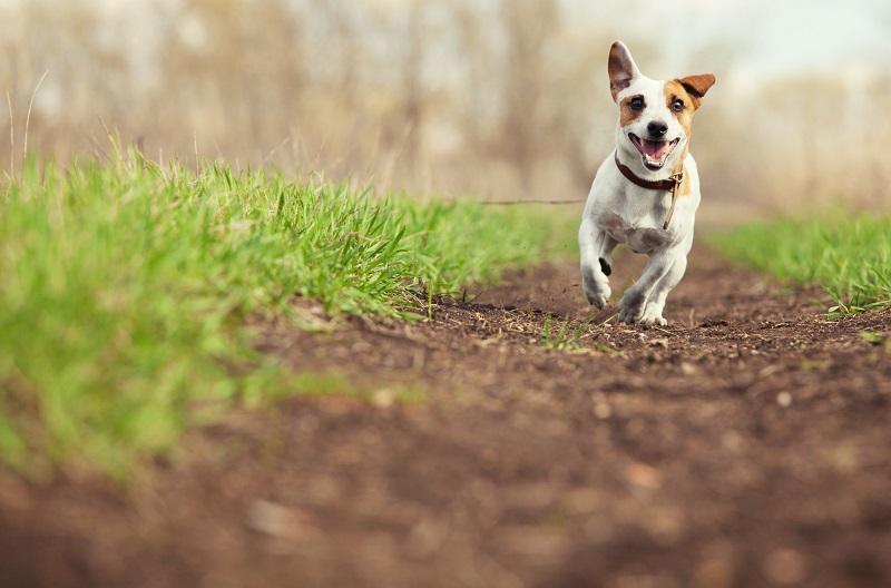 Aktívne psy a Jack Russel