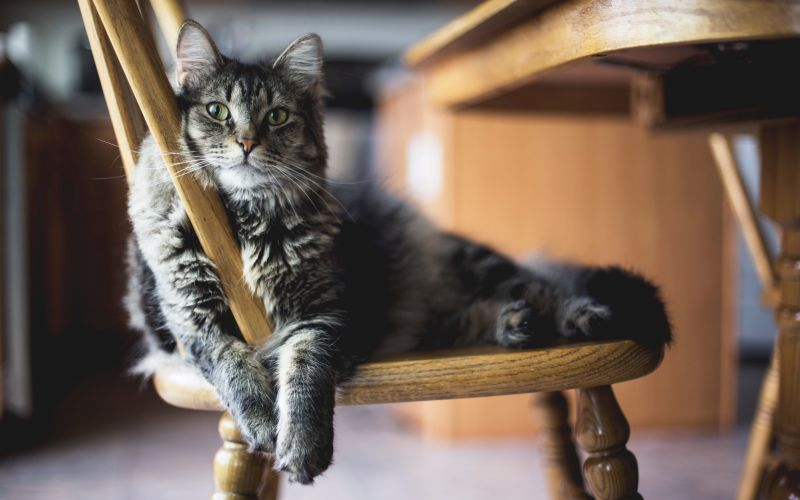 Mačka oddychuje na stoličke