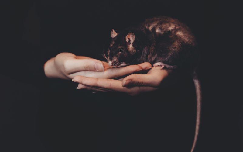 Inteligentné potkany