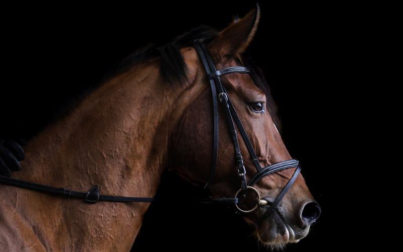 Vyšľahtený kôň pripravený na závod