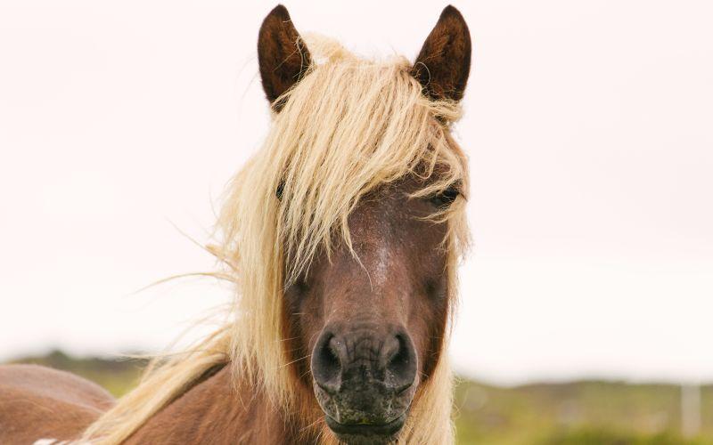 Kôň s blonďatou hrivou