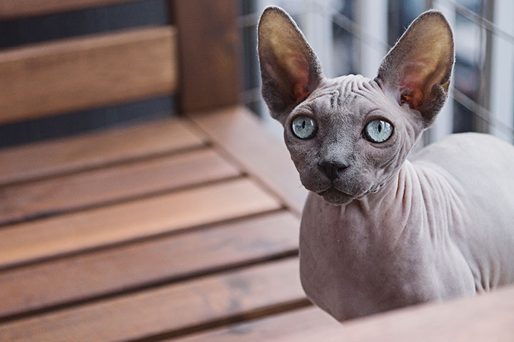 Bezsrstá mačka