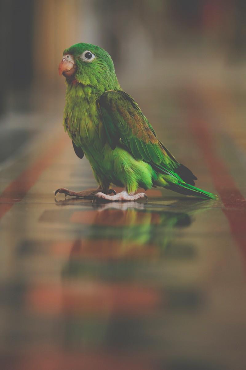 Concure papagáj