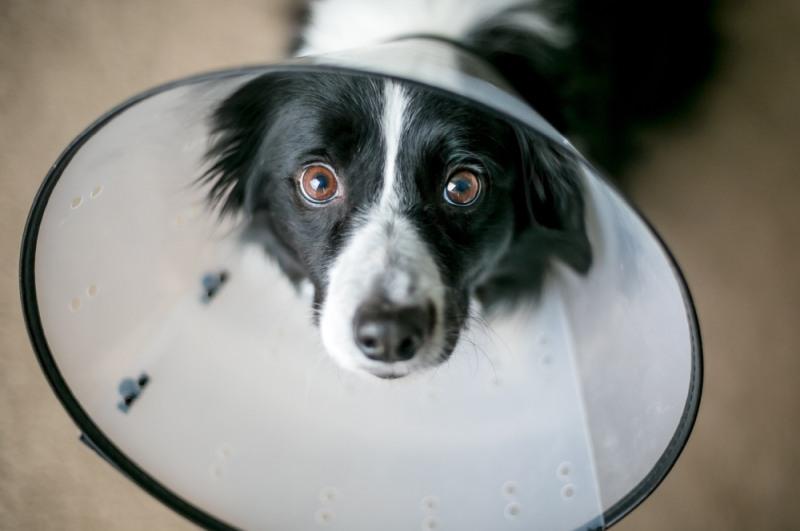 pes po operácii